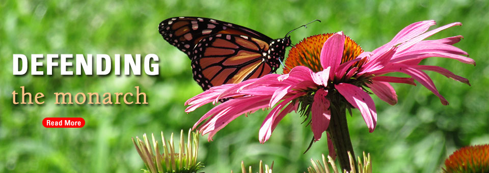 monarch butterfly feeding on flower