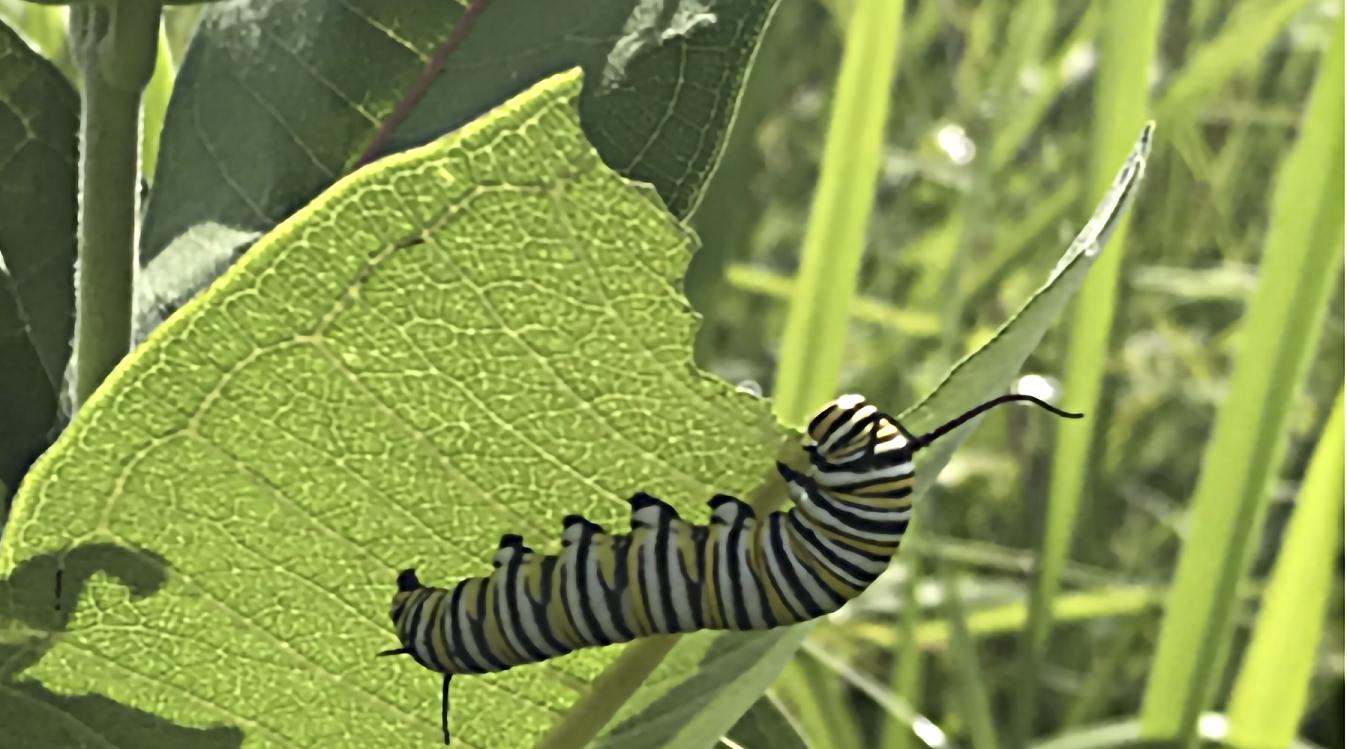 Monarch caterpillar feeding on milkweed leaf