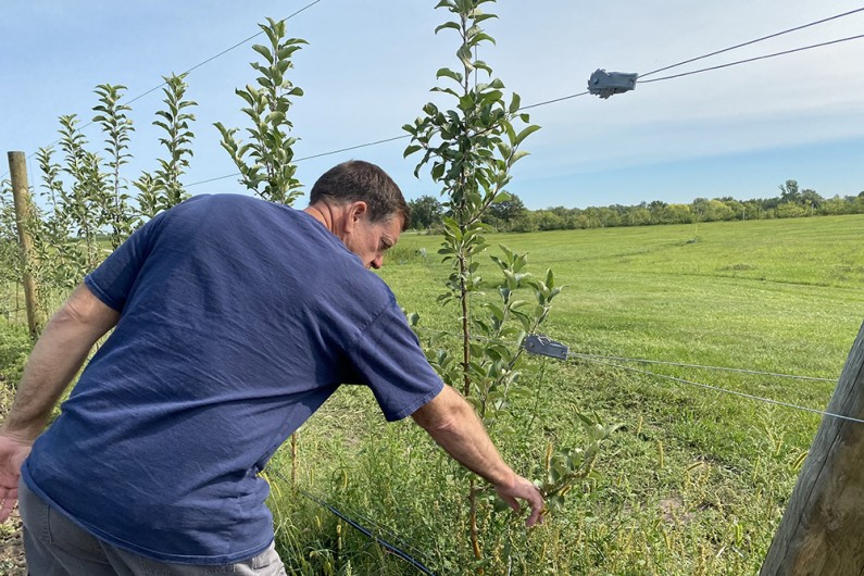 Nick Howell inspecting a growing apple tree supported by wire fencing