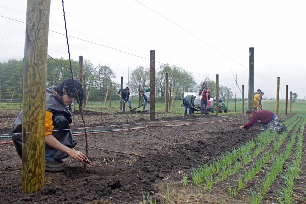 Students planting small apple trees in between wooden posts