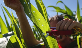 Student punching holes in corn plant leaves for DNA testing