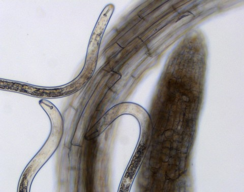Parasitic cyst nematodes, a major pest of soybeans and other crops, cluster around plant roots.