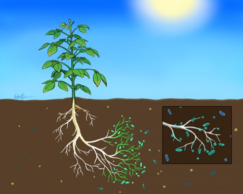 Stylized illustration suggests soybean-microbe interaction