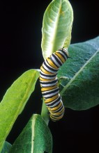 Monarch caterpillar picture