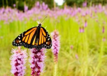 Monarch in pasture