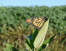 Monarch on milkweed plant.