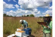 Researchers next to prairie with hives, surrounded by buzzing insects
