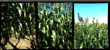 3 images of sorghum at full height in the field