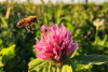 Honey bee hovering over red clover bloom