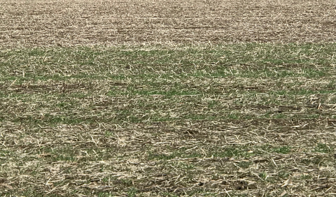 Emerging cover crops at ISU research farm