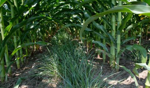 perennial groundcover between corn rows