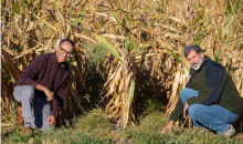 Two men bending down to look at plants growing in a field of corn
